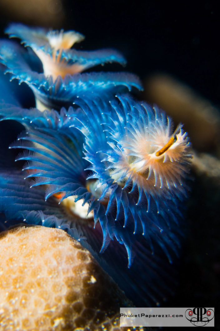 Underwater photography christmas tree worm.
