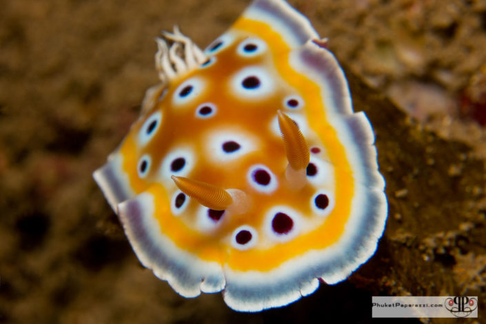 Underwater photography chromodoris geminus nudibranch macro shot.