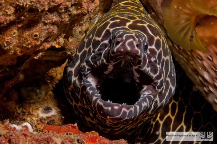 Underwater photography honeycomb moray eel.