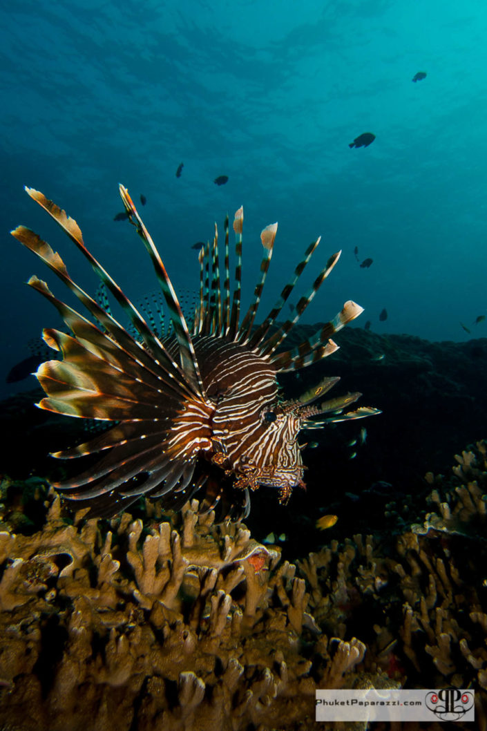 Underwater photography lion fish hovering on fire coral.