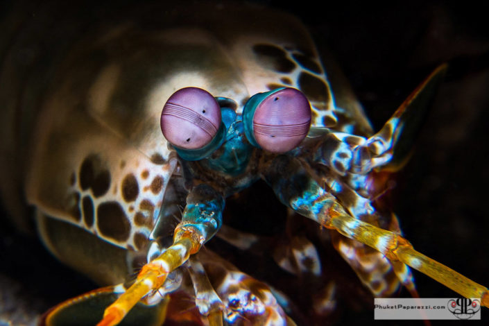 Underwater photography peacok mantis shrimp macro shot.