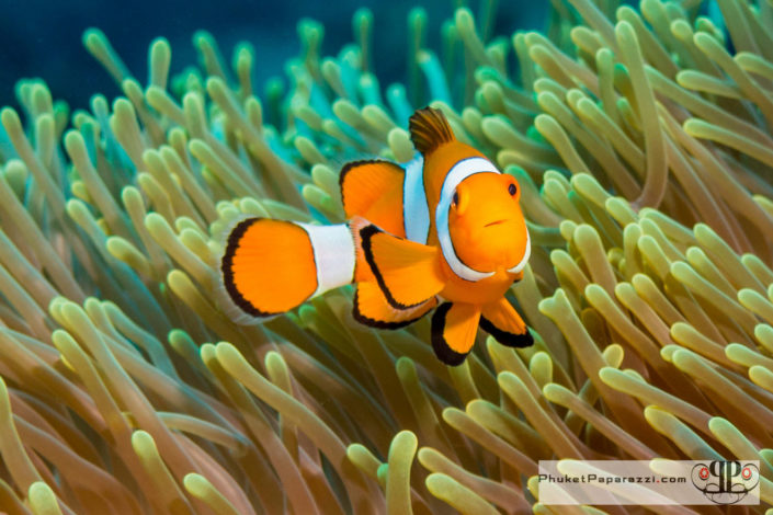 Underwater photography western clown fish.